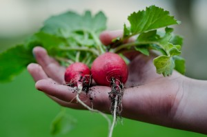 radishes in hand